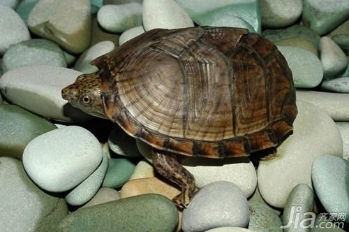 小动物饲养 饲养乌龟的注意事项