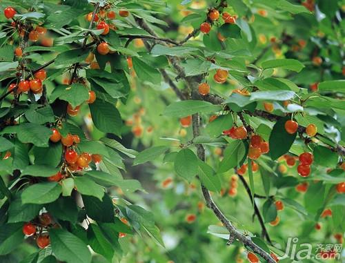 樱桃树种植需要注意哪些图片
