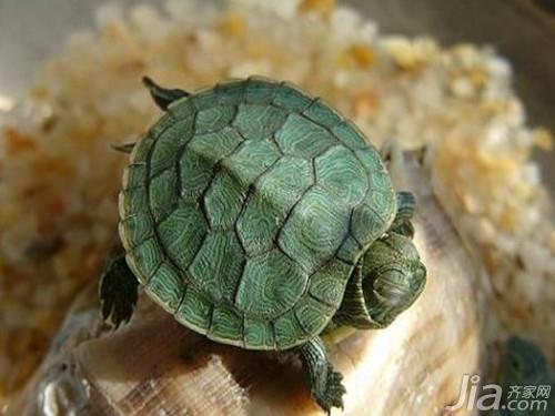 巴西龟白眼病有哪些症状 巴西龟白眼病治疗方法