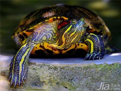 巴西龟/很多人都喜欢养乌龟,寓意长命百岁在众多乌龟中,最多人选择的...