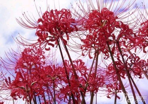 曼珠沙华的花语是什么 彼岸花的由来