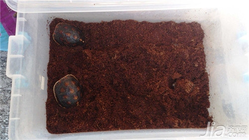 乌龟什么时候冬眠 乌龟冬眠怎么养
