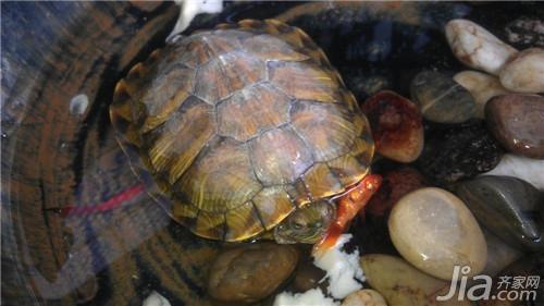 怎样让乌龟冬眠_冬天如何养乌龟 冬天的乌龟怎么养?