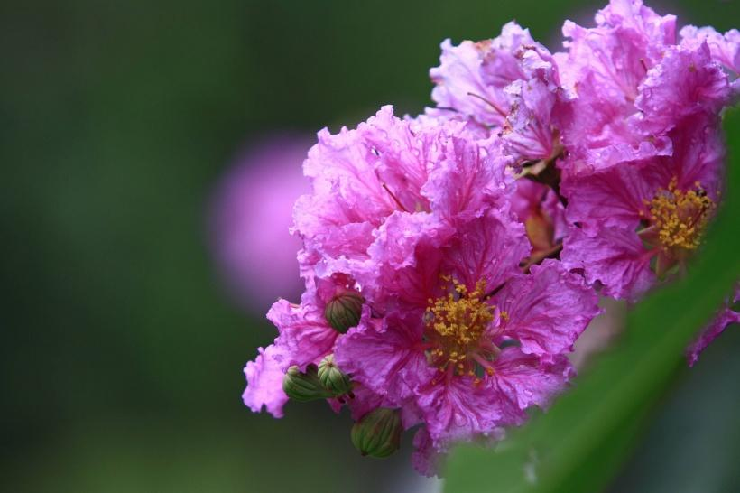 紫薇的价值