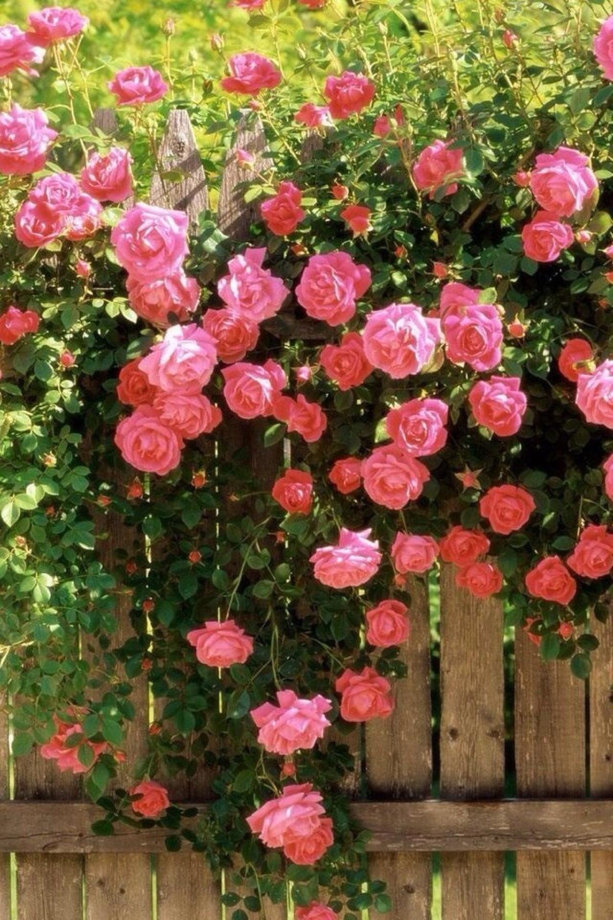 蔷薇的养殖方法