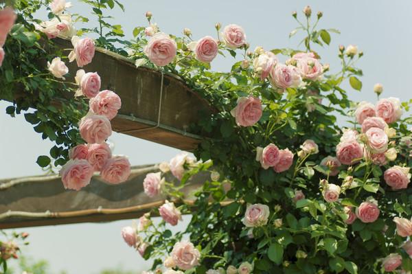 蔷薇的注意事项