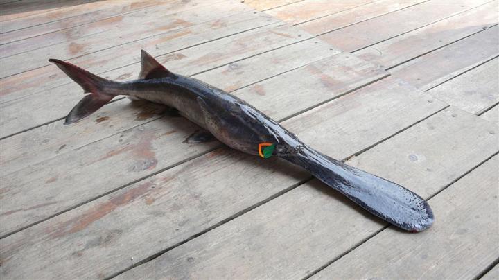 匙吻鲟鱼价格_鸭嘴鱼的基本信息,鸭嘴鱼的营养价值,鸭嘴鱼的做法,鸭嘴鱼的 ...