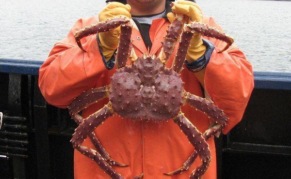 金色皇帝蟹可全年在阿留申群岛的极深水域捕捞,并无配额限制.