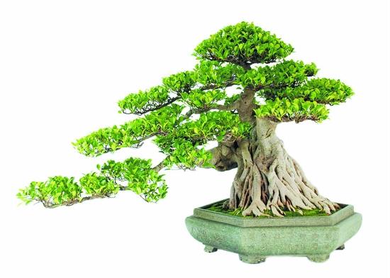 榕树盆景的修剪方法