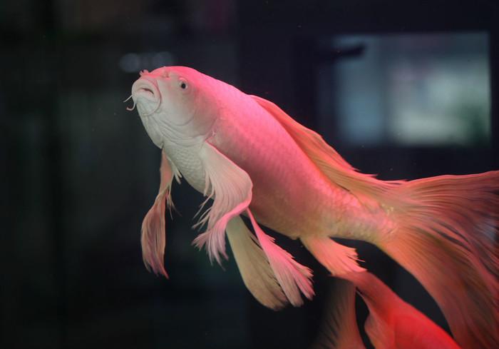 龙凤锦鲤鱼价格