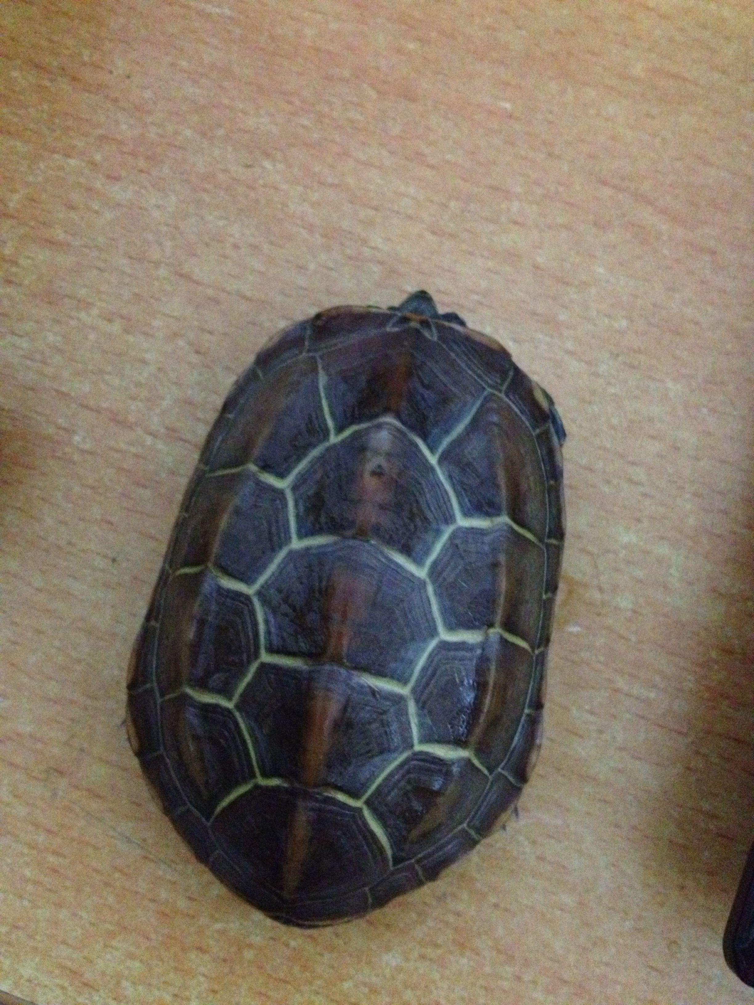中华草龟怎么分公母 热爱草龟的你怎可不了解图片