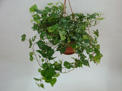 什么花吸甲醛最好 去甲醛的植物有哪些