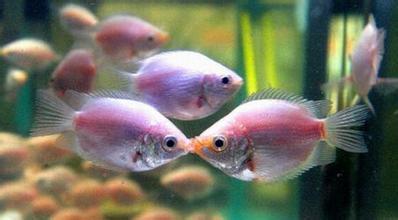 接吻鱼怎么养