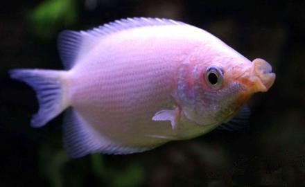 接吻鱼吃什么