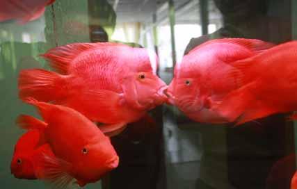 接吻鱼价格