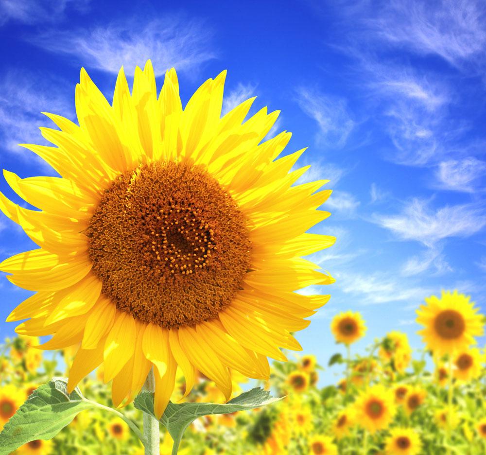 太阳花折纸