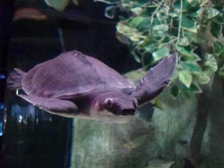 齐家百科 生活百科 动物 猪鼻龟  猪鼻龟是以植物性食物为主的杂食龟