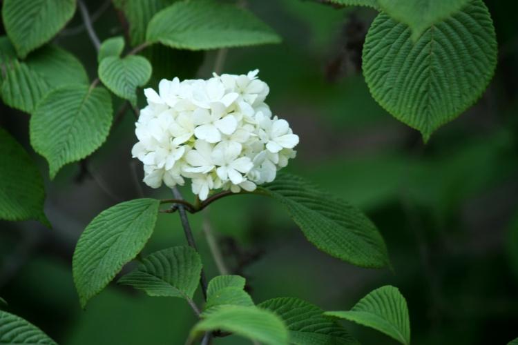 石楠花原产于中国,树干高达丈许,花冠为长筒形,在春末夏初着生枝梢.