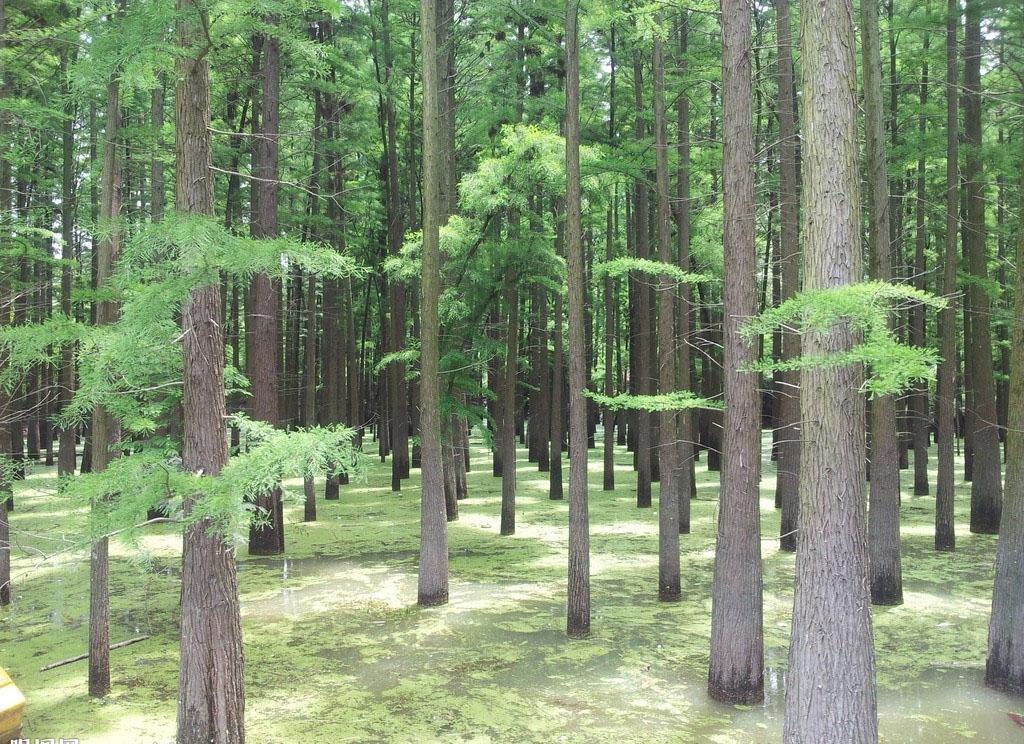 """""""万能之木""""—杉木"""