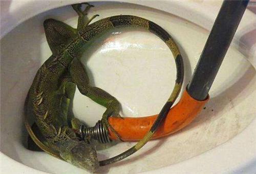 还有一些人会用泥鳅来疏通马桶