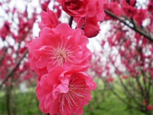 红梅树苗的价格是多少 红梅花一般什么时候开花