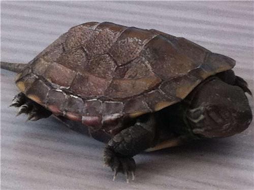 乌龟冬眠一般是多久 乌龟进入冬眠阶段要怎么养