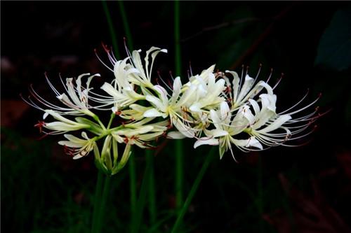 白色彼岸花的相关内容 彼岸花的花语是什么
