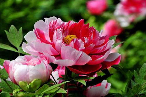 中国国花是什么花啊 我国的十大名花是哪十个