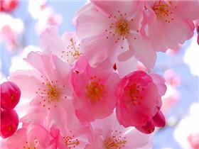 樱花什么时候开 樱花花语是什么