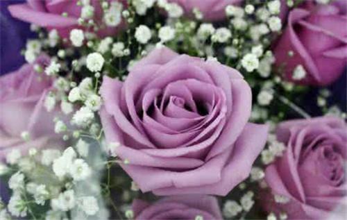 易画玫瑰花朵的图片_我要紫玫瑰的图片和介绍-