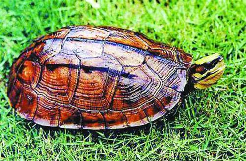 野生金钱龟价格贵吗 金钱龟怎样来分辨真假
