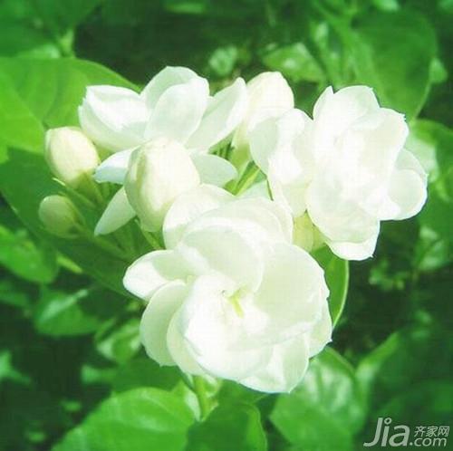 茉莉花茶的种植环境要求图片
