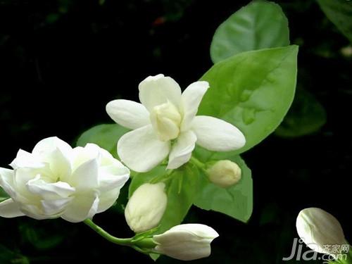 茉莉花茶的种植环境条件图片