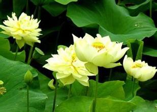 水生花卉_水生花卉有哪些,水生花卉栽培及理,水生花卉应用价值,水生